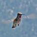 Hummingbird (0370)