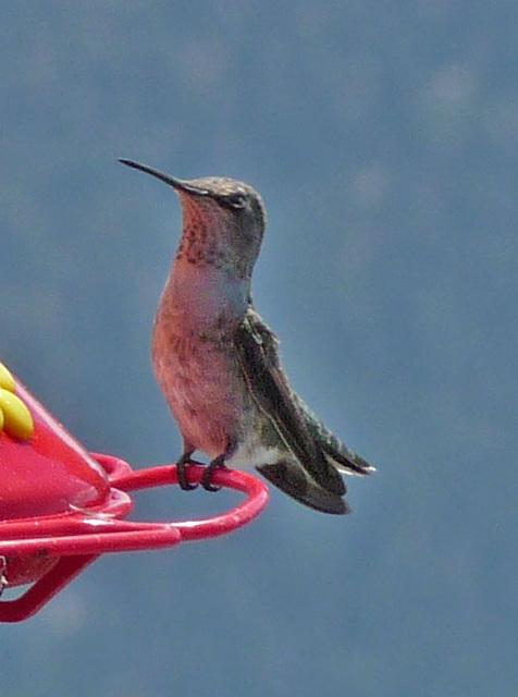 Hummingbird (0370A)