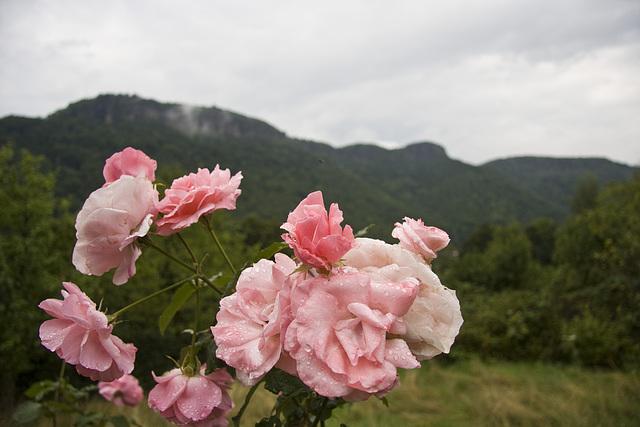Rose mit Rosenrücken (Hintergrund)