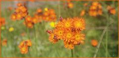 Wildblumen im Harz