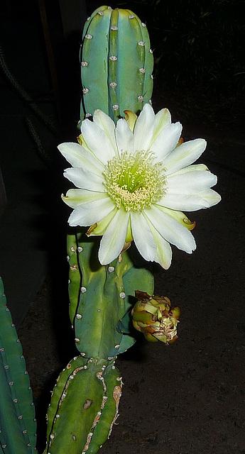 Cereus Bloom (0446)