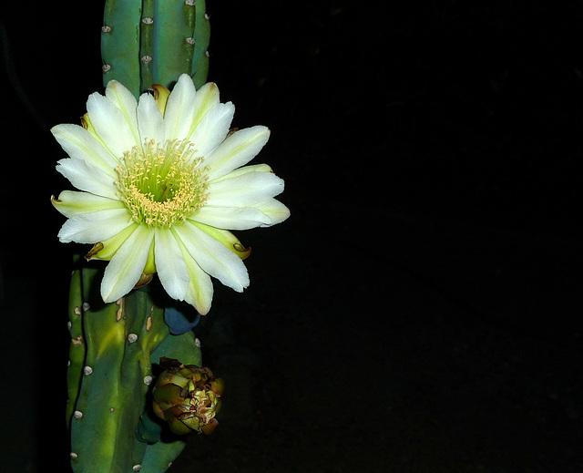Cereus Bloom (0447)