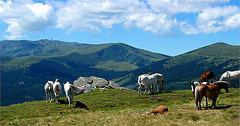 glückliche Pferde auf einer Almweide
