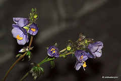 - and this perennial is called? Purple Rain/Jacob's Ladder/Polemonium Yezoense