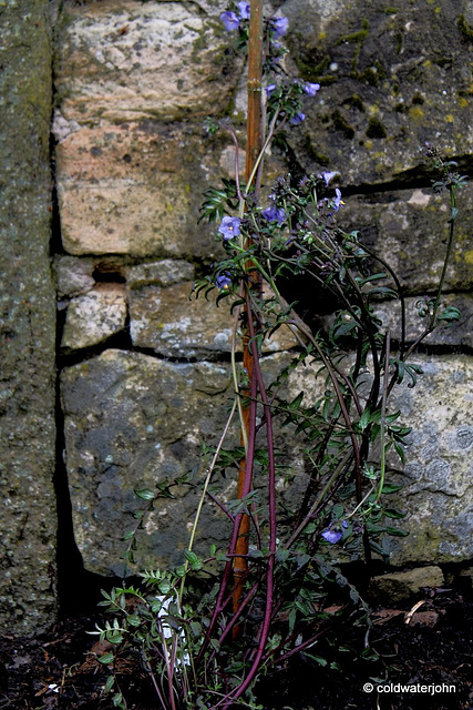 "#1 Polemonium Yezoense - ""Purple Rain"""