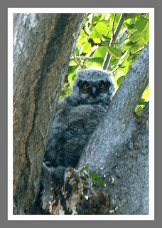 Baby owl, Oliver, BC