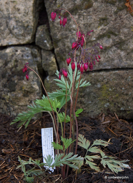 #4 Dicentra Formosa - Bacchanal - dusky crimson flowers