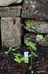 #8 Aquilegia Oxysepala - Burgundy and cream