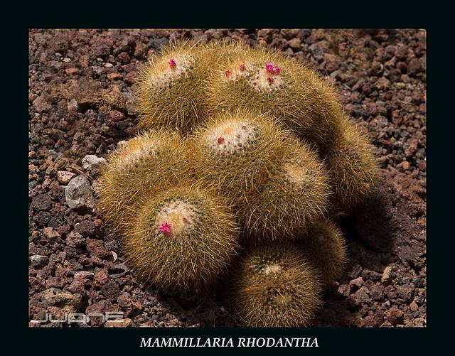Mammillaria rhodantha