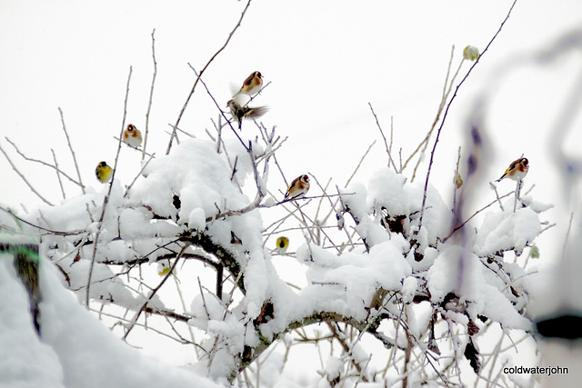 A charm of goldfinches in the plum tree 5221251154 o
