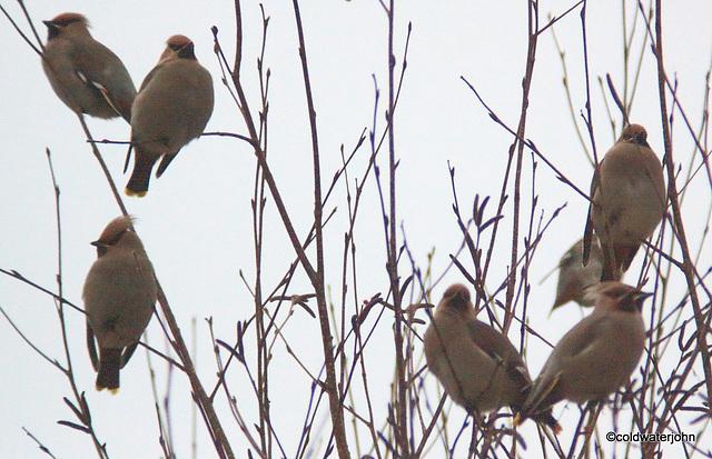 A flock of Scandinavian Waxwings