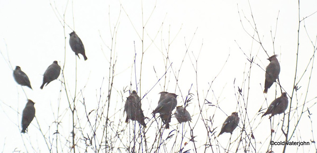 A flock of Scandinavian Waxwings