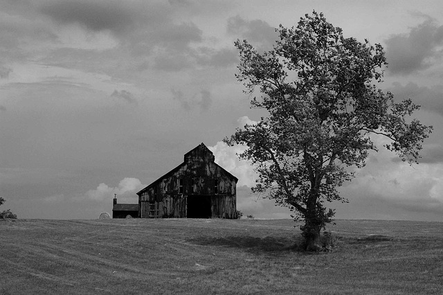 tobacco barn and tree b&w