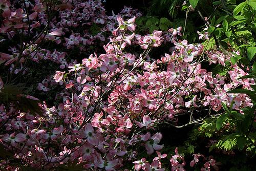 Cornus florida ' Rubra '