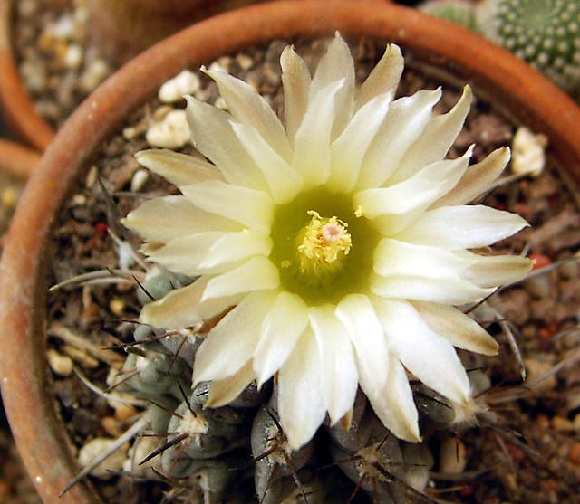fleurs de mes cactus