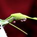 hungrige Schmetterlingsraupe - chenille -
