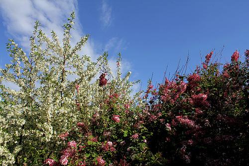 Prunus et Syringa