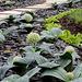 Allium karataviense ' Ivory Queen'