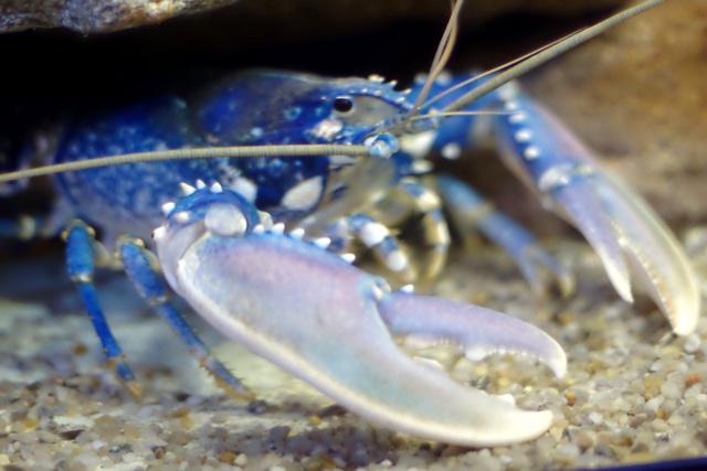 Lobster (Homarus gammarus)