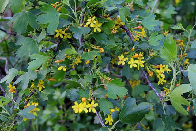 Ribes aureum - odoratum