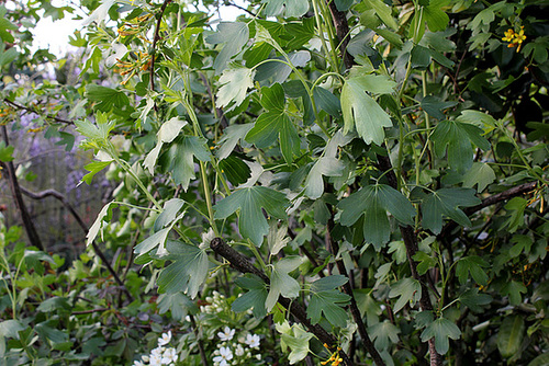 Ribes aureum - odoratum (2)