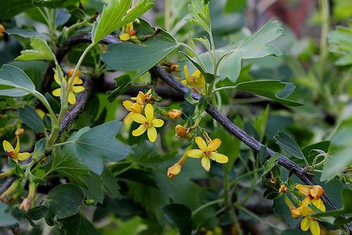 Ribes aureum - odoratum (3)