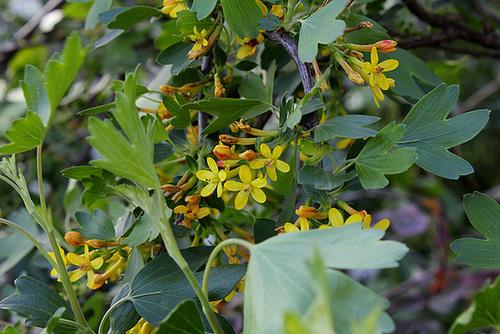 Ribes aureum - odoratum (4)