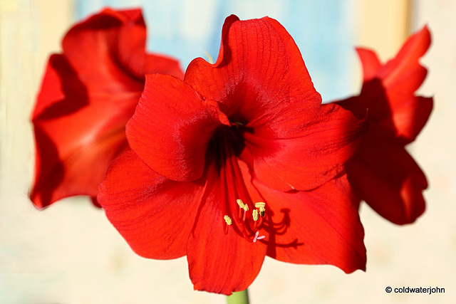 Amaryllis Day Twenty-Two