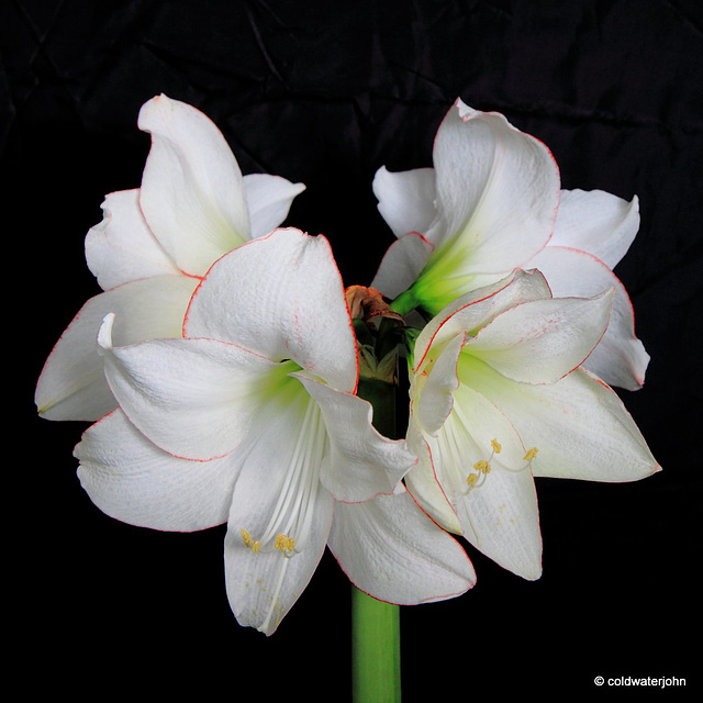 Amaryllis in full bloom - Day Eleven
