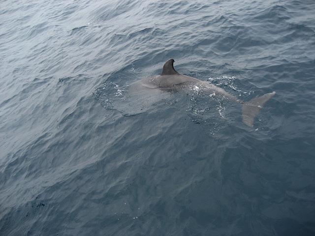 Strait of Gibraltar, delphinus delphis