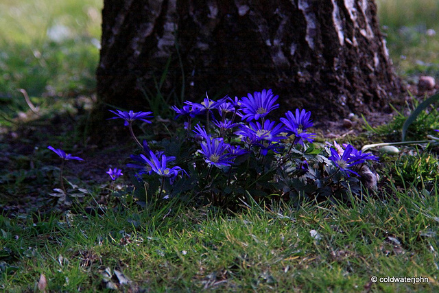 Anemones under the oaks