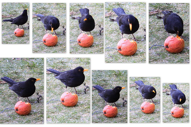 Apple-flavoured blackbirds?