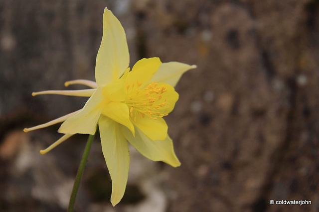 Aquilegia Chrysantha - Yellow Queen in flower