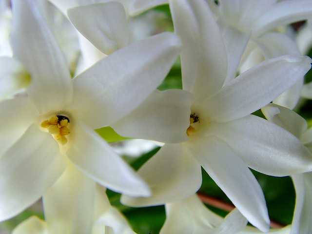jacinthes blanches