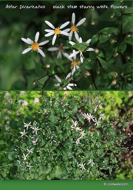 Aster Divaricatus - black stem starry white flowers