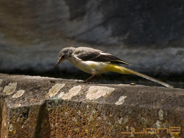 Alpispa (Motacilla cinerea canariensis)