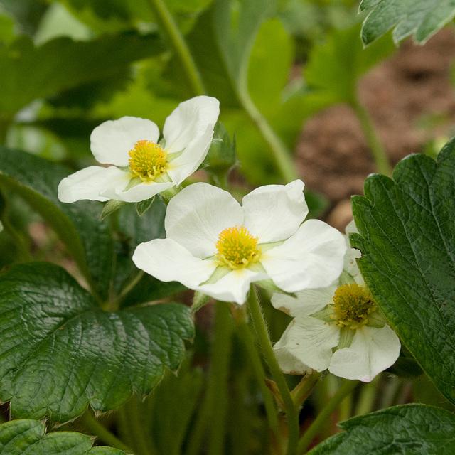 Strawberry flowers in gentle light