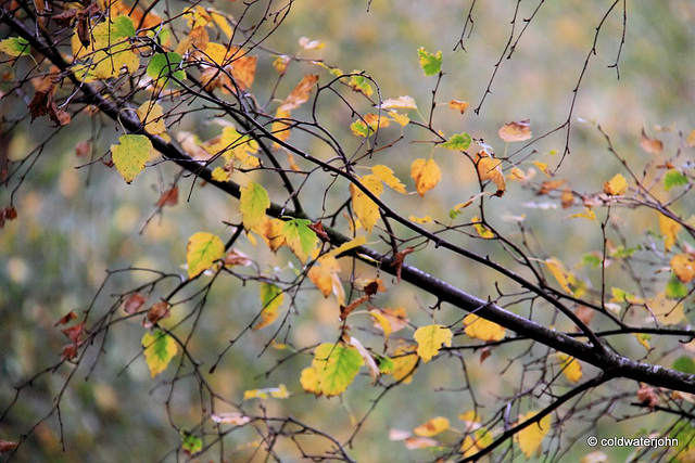 Autumn Birch leaves - October