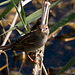Gorriona moruna-Passer hispaniolensis