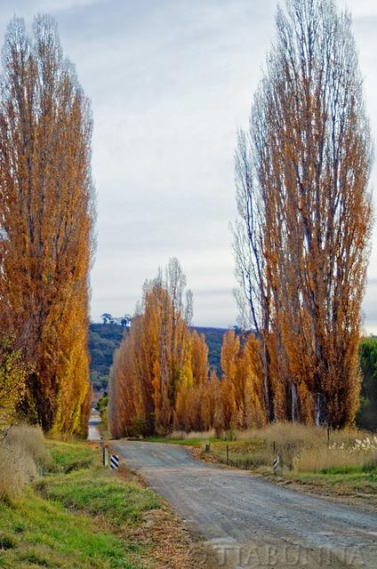Through the Poplars