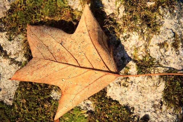 Autumn: Tulip Tree leaf with early morning dew #1