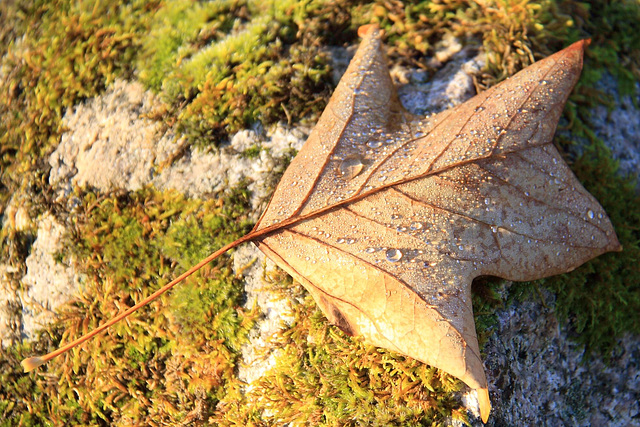 Autumn: Tulip Tree leaf with early morning dew #2