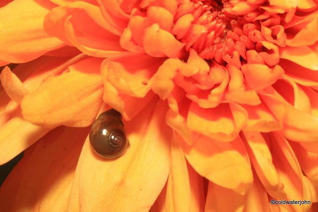 Baby snail on Chrysanthemum petals
