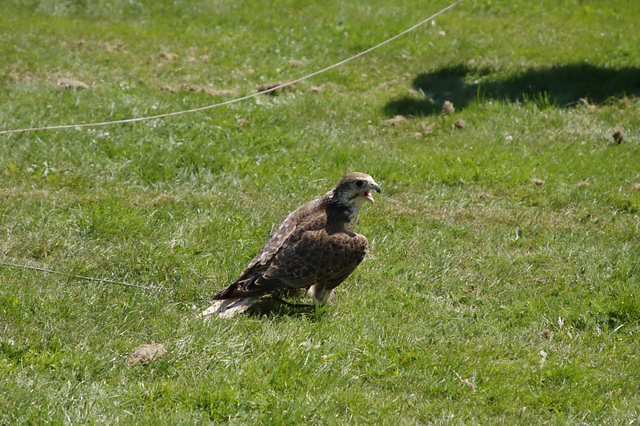 Ribe Vikingcenter - Falconry demonstration