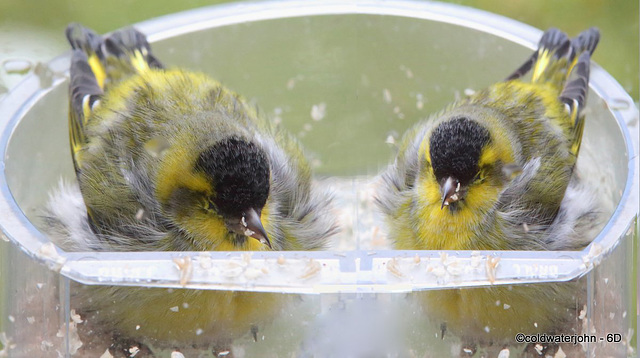 Bed and Breakfast?  Siskins dozing in the bird-feeder!
