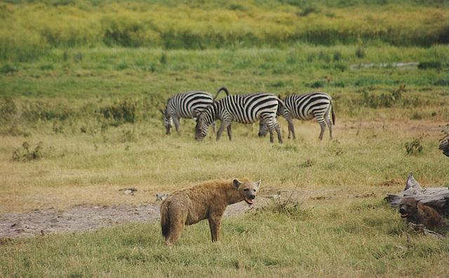 Zebra for Breakfast?