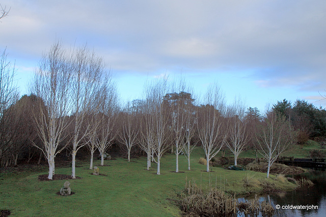 Betula Jacquemontii in their winter bark 6641011237 o