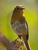 Petirrojo joven - Erithacus rubecula superbus