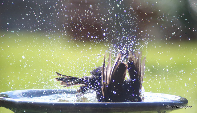 Blackbird having a vigorous bath!