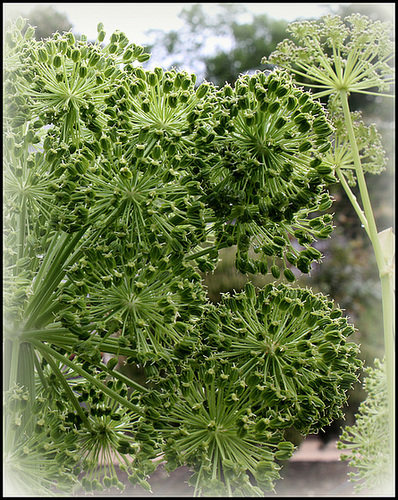 Angelica archangelica  (4)